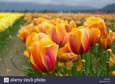 Stock Photo - Field of Darwin Hybrid Tulips Darwin, Tulips, Royalty Free Stock Photos, Vectors, Plants, Photography, Illustrations, Image, Flora