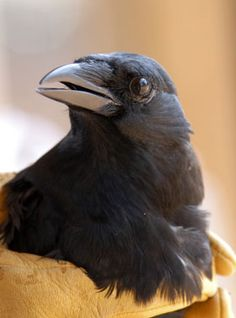 If you visit Wild Friends, you may meet a number of corvids. Corvid is the bird family that includes crows, ravens, magpies and jays. They are incredibly smart birds, and very sociable. Corvids have proven that they are capable of conscious problem-solving and making and using tools to achieve their goals.