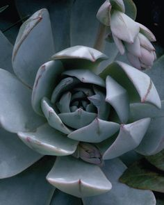 Echeveria, Mixed Species Seeds £3.30 from Chiltern Seeds - Chiltern Seeds Secure Online Seed Catalogue and Shop