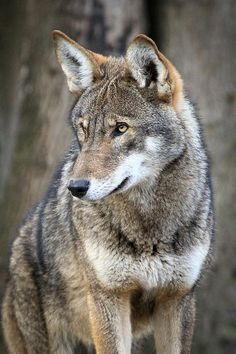 Red Wolf (photo by Athena Mckenzie) - They used to roam the entire southeastern United States, but the only red wolves living in the wild today are found in the Alligator River National Wildlife Reserve in northeastern North Carolina. Wolf Images, Wolf Photos, Wolf Pictures, Animals Images, Animal Pictures, Canis Lupus, Wolf Spirit, Spirit Animal, Beautiful Creatures