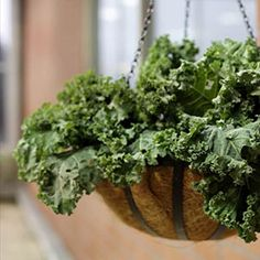 You keep critters out of your greens when you grow kale in a hanging basket