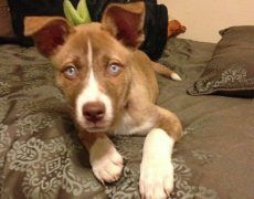Pitsky Pitbull Husky Mix Info Temperament Puppies Pictures