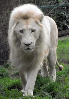 Beautiful White Lion More