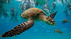 travelling sea turtle under water