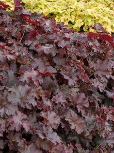 Heuchera x villosa Chocolate Ruffles Ruffles™ Series Coral Bell, Alum Root -- Bluestone Perennials Ruffles, Evergreen Garden, Coral Bells, Foundation Planting, Border Plants, Plant Catalogs, Heuchera, Garden Planning, Garden Beds