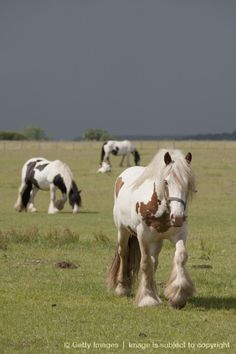 Image Search Results for clydesdale horses