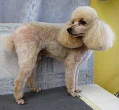 Poodle Dogs Grooming Your Furry Friend: Does A Poodle Have To Be Groomed Like A Poodle? Dog Grooming Styles, Poodle Grooming, Pet Grooming, I Love Dogs, Cute Dogs, Awesome Dogs, Poodle Cuts, Dog Crafts, Dog Shedding