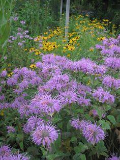 Monarda fistulosa (Wild Bergamot). Native all over! provides the taste in Earl Gray, great smell, attractive to birds, bees.