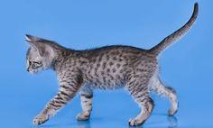 Egyptian Mau Kitten!