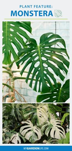One of the hottest trends in houseplants and indoor gardening! Monstera deliciosa's distinctive cut-out leaves have an artistic quality that you'll see printed on textiles for upholstery, pillows, linens, and wall coverings. Monstera is also known as the Swiss cheese plant or split-leaf philodendron. It's super-easy to grow and a plant you'll want to add to your foliage plant collection. Philodendron Monstera, Monstera Deliciosa, Indoor Gardening, Indoor Plants, Cheese Plant, Plant Projects, Patio Planters, Garden Yard Ideas, Swiss Cheese