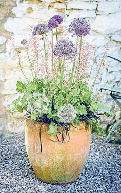 Alliums in a pot Allium Flowers, Flower Pots, Cottage Garden Plants, Garden Pots, Fairies Garden, Indoor Garden, Container Plants, Container Gardening, Coastal Gardens
