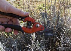 Jeunes plants, touffes plus anciennes ou vieux pieds : tailler et entretenir la lavande après floraison.