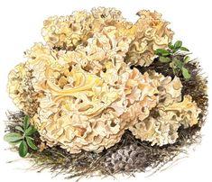 Vielä ehdit metsään: Näin löydät sienet Fungi, Cabbage, Floral Wreath, Vegetables, Food, Floral Crown, Mushrooms, Essen, Cabbages