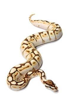 "Butter Bee Ball Python very beautiful snake! Will be producing them next year  Like"" in FB! www.facebook.com/kingsreptiles619"