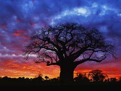 Baobab - Tanzanian sunset