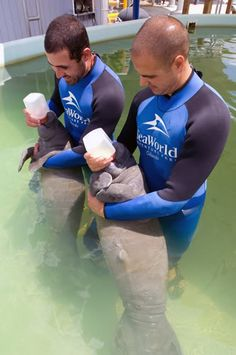 Baby Manatees getting a bottle:) @Leslie Johnson I know you will adore this.