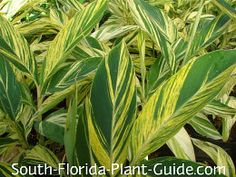 variegated ginger - to plant outside sunroom