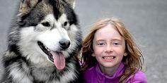 Tudo sobre o Malamute do Alaska - Blog do Cachorro