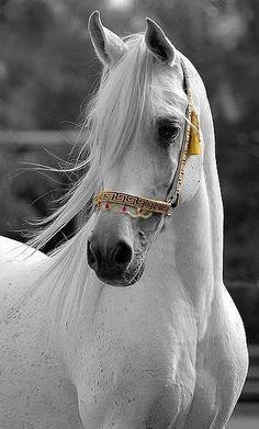 Just a white horse pic. Beautiful Arabian Horses, Most Beautiful Horses, Majestic Horse, Animals Beautiful, Cute Animals, White Arabian Horse, Stunningly Beautiful, Wild Animals, Cute Horses