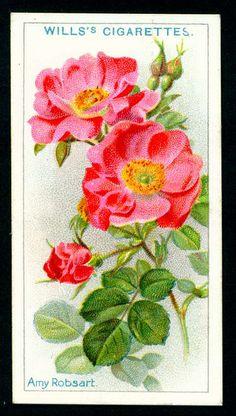 Cigarette Card - Amy Robsart Rose by cigcardpix, via Flickr