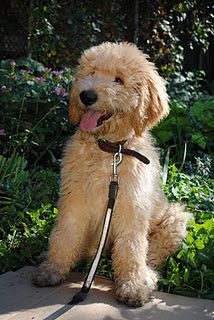 My mini goldendoodle Fletcher looks exactly like this dog. Cute Puppies, Cute Dogs, Dogs And Puppies, Doggies, Animals And Pets, Cute Animals, Mini Goldendoodle, Doodle Dog, Cute Creatures