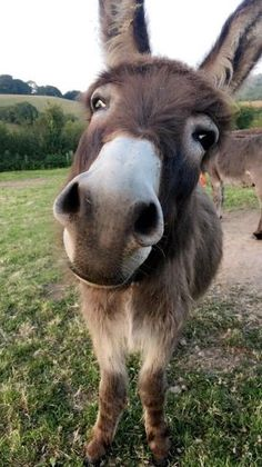 Great photos of farm animals / pets. We would be happy to . Great photos of farm animals / pets. We& love to see you … – Sweet donkey. Cute Baby Animals, Farm Animals, Animals And Pets, Funny Animals, Baby Donkey, Cute Donkey, Mini Donkey, Baby Cows, Donkey Donkey