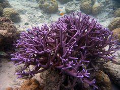 Things in Nature that are purple. Reef Aquarium, Saltwater Aquarium, Flora Marina, Sps Coral, Water Life, Ocean Creatures, Environment Concept Art, Sea World, Ocean Beach