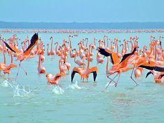 Santuario de los flamingos rosas en Celestún, Yucatán, México.