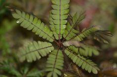 Biophytum mapirense