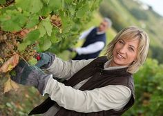 Kerry Vale Vineyard (Shropshire) welcomes volunteers all year, especially at harvest-time to hand pick the grapes. Volunteer pickers are asked to start on the vineyards at 8am and pick until 1pm. They will be rewarded for their efforts with a hearty lunch and a glass of wine on the vineyard. 2013 picking starts on Tuesday 1st October and will continue as the different varieties ripen over the next few weeks.