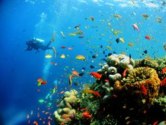 Diving~~the warmth of the sea water around you~beautiful fishes swimming by~ <3