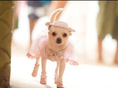 Beverly Hills Chihuahua the Movie. Buy Chloe's wardrobe of cute Chihuahua clothes at The Famous Chihuahua Store http://store.famouschihuahua.com
