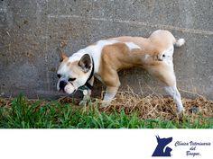 LA MEJOR CLÍNICA VETERINARIA DE MÉXICO. Cuando un perro orina deja su olor en el lugar, cada perro tiene un olor diferente, como las huellas dactilares en los humanos. De esta forma, todos los perros pueden oler quien ha orinado en determinado sitio y marcar su territorio. Las hembras no tienen tanta necesidad de marcar territorio como los machos.  En Clínica Veterinaria del Bosque te invitamos a visitar nuestra página web www.veterinariadelbosque.com para conocer nuestros servicios…