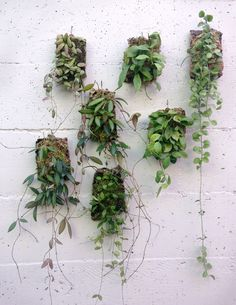 Epiphytic wall plaques look like tiny swatches of flora cut from the heart of the jungle. Hoya, Dischidia and Peperomia plant specimens, rooted to a touch of moss, vine and cascade from a piece of cor Hoya Plants, Air Plants, Garden Plants, Indoor Plants, Plant Wall, Plant Decor, Flower Wall, Flower Pots, Bat Flower