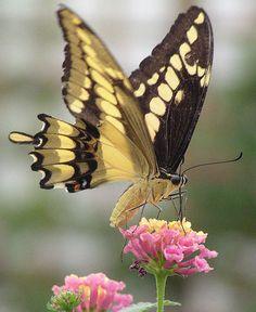 butterfly garden of Knokke, Belgian coast : i think it's a Papilio cresphontes from tropical America  Vlindertuin van Knokke : dit is in elk geval een lid van de Papilionidae, zoals onze koninginnepage; waarschijnlijk een Papilio cresphontes uit tropisch Amerika.
