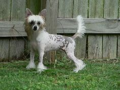 Chinese Crested - Bunny