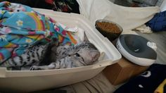 Cassie's set up. Bill just spilled her water all over my blanket! #kittenwatch #cassiethekitten #cassiethekittenispregnant #EgyptianMau #SilverEgyptianMau #egyptianmausoftwitter #egyptianmausofinstagram #egyptianmausoffacebook #catsoftwitter #catsofinstagram #catsoffacebook #catsofscope #cutekitten #petsoriginal #theellenshow #bestmeow #Excellent_Kittens #cutepetclub