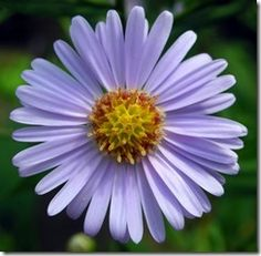 Feature Flower Friday: the Aster - from Garden of Eden Flower Shop Flower Seeds, Flower Pots, Cosmos, Lotus Flower Wallpaper, Aster Flower, Birth Flowers, Types Of Flowers, Purple Flowers, Gardens