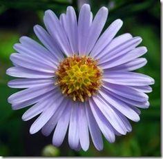 Feature Flower Friday: the Aster - from Garden of Eden Flower Shop Flower Seeds, Flower Pots, Cosmos, Lotus Flower Wallpaper, Purple Wallpaper, Jade, Birth Flowers, Types Of Flowers, Purple Flowers