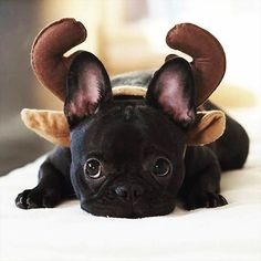 """I WAS a French Bulldog Puppy.I guess I'm now a Reindeer"", adorable French Bulldog Puppy. Animals And Pets, Baby Animals, Funny Animals, Cute Animals, Small Animals, Cãezinhos Bulldog, French Bulldog Puppies, Frenchie Puppies, Funny French Bulldogs"