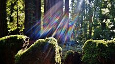 Redwood Forest Moss Covered Stump by Nalinne Jones. Lens flare creating a magical feeling to the moss covered redwood tree stumps in the coastal Redwood forest near Santa Cruz, California, Fall, 2014.