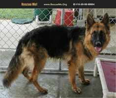 Anicee is a nine-year-old friendly German shepherd, who used to have a home until her family decided to move, and no dogs were allowed.
