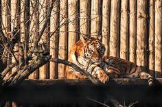 Tiger, Augen, Aufpassen, Katzen, Farbe, Zoo, Tierwelt