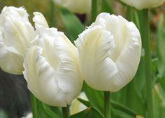 The large deeply-feathered flowers of parrot tulip Tulipa 'White Parrot' will look stunning when surrounded with dark violas