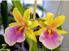 Miltonia Orchid- Sunset