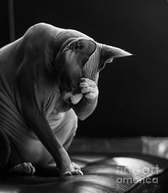 """Feeling your Pain"" - by Zina Zinchik - Sphynx kitten holding his head like he has a migraine. - A tribute to all those who suffer this malady. Big Cats, Cats And Kittens, Cute Cats, Animals And Pets, Baby Animals, Cute Animals, Sphinx Cat, Sphynx, Hairless Kitten"