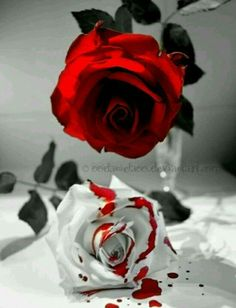 Red rose dripping color.....