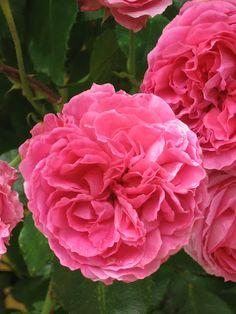 Leonard De Vinci Rose