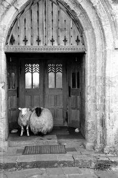 Church Sheep Photographic Print by Maurice Ambler at Art.com