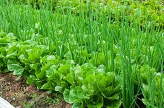 Companion planting is the secret, the lettuce and the onions complement each other on shape, flavor and allows us to plant more food in our raised beds.